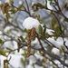 Frisch eingeschneiter Zweig der Gemeinen Hasel  (Corylus avellana).