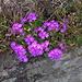 Bergprimeln (Primula pruhoniciana)