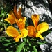 Amancay (<i>Alstroemeria aurantiaca</i>)