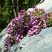 Fiori sulla roccia (Saponaria rossa?)