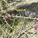 fiori del larice