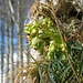 Die Stinkende Nieswurz (<i>Helleborus foetidus</i>) in voller Blüte