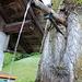 In Sigriswil werden die Bäume direkt angezapft