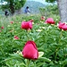 Peonies (German: Pfingstrose) are in abundance on the lower slopes of Cajupi.