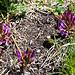Eine seltene Pflanze, an Suonen häufg: Französischer Tragant (Astragalus monspessulanus).
