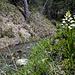 Langblättriges Waldvögelein (Cephalanthera longifolia) an der Bisse Neuf.