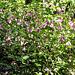 Rundblättriger Hauhechel (Ononis rotundifolia)