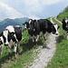 Keine Stiere, sondern Kühe...und im Westen ist das Grossvieh eh freundlicher als im [http://www.hikr.org/tour/post65007.html fernen Osten]