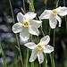 Dies dürften Weisse Garten-Narzissen (Narcissus poëticus) sein ([http://www.infoflora.ch/de/flora/3130-narcissus-po%C3%ABticus.html#map siehe Infoflora])