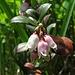 Preiselbeer-Blüten<br /><br />Fiori di un mirtillo rosso