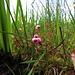Winzig kleine Blüten im Moor: die Gewöhnliche Moosbeere, geschützt.<br /><br />Fiori tutti piccini nella palude: Vaccinium oxycoccos, syn. Oxycoccus palustris, protetto.
