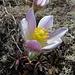 Frühlings Anemonen im Brändjitälli