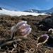 Frühlings anemonen auf knapp 2600 m