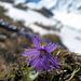Alpenglöckchen  vor dem Brändjitälli