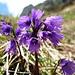 Soldanellen (Soldanella alpina)