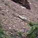 .. doch die nähere Überprüfung bestätigt: Es ist Quartenschiefer.<br />Der müsste zwar über der Rauwacke liegen. Aber das sind wir uns in den Glarner Alpen ja gewohnt