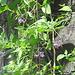 Bittersüsser Nachtschatten.<br />Die hübsche Blüte verrät die nahe Verwandtschaft mit Tomate, Kartoffel und Tabak