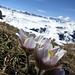 Einer der markantesten (und schönsten) Frühlingsboten der Alpen: Küchen- oder Kuhschelle (pulsatilla vulgaris)