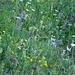 ..naturnahe Blumenwiese