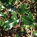 Stechpalme: lat.Ilex Aquifolium
