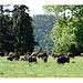 Unerwartete Begegnung mit einer Herde Bisons. Im Winter noch mal mit Teleobjektiv kommen!
