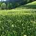 Herrliche Blumenwiesen im Abendlicht - ein Paradies für Insektenfreunde