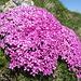 Was für eine Schönheit, nur eine von vielen  Es handelt sich wohl um ein Mannsschild (Androsace alpina) oder wohl eher um das Stängellose Leimkraut Danke [u Murgl]