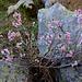 Daphne mezereum, Thymelaeaceae. <br />Fior di stecco o Pepe di monte o Dafne mezereo.<br />Bois gentil. <br />Echter seidelbast.