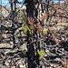 Nach einem Waldbrand treiben diese Kanarische Pinien sehr rasch wieder aus