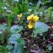 Gelbe Veilchen am Steig