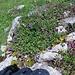 Buntes Blumenpolster auf den Felsen