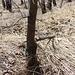 La vipera aspis atra a sinistra dell'albero