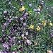 Zahlreiche Kugelblumen, leider durch den Regen zerzaust