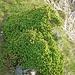Eine arme Krüppelfichte vegetiert vor sich hin.
