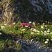 Blumenteppiche am Gipfel<br /><br />Tappeto di fiori in cima