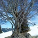 Der Baum hat etwas mystisches