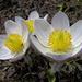 und weiter oben Frühlings Anemonen