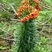 Herrliche Blütenpracht am Wegesrand - lt. harlem - Krainerlilie