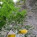 Oberer Tobel 735 m - Im Aufstieg ignorierten wir den WW zum Bandfelsen und folgten hier einem Fußpfad in den Leibertinger Tobel, wo man unter Umgehung der Burganlage wieder auf den WW trifft und so den Aufstieg um ca. 1 km verkürzt