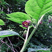 Blüte einer Tollkirsche