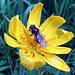 Großer Bocksbart mit Fliege im Macro