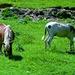 Equini dell'Alpe Primarzio