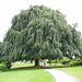 exotischer Baum in Cologny