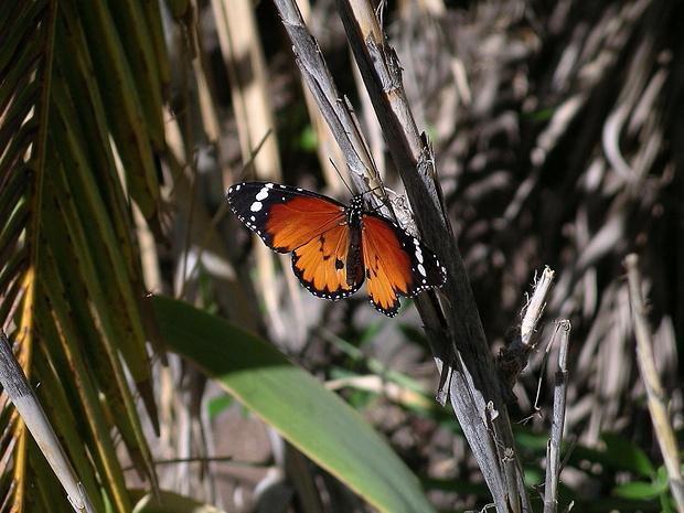 Kleiner Monarch (Danaus chrysippus). Dieser wunderbare Falter mit einer Flügelspannweite von rund 8 cm kommt in den südlichen Barrancos von La Gomera vor.