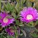 Mittagsblume (Carpobrotus acinaciformis))