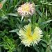 Mittagsblume (Mesembryanthemum acinaciformus)
