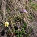 Pulsatilla alpina subsp. apiifolia, Ranunculaceae. <br />Pulsatilla alpina.<br />Pulsatille soufrée.<br />Schwefel-Anemone.