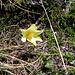 Pulsatilla alpina, Ranunculaceae.
