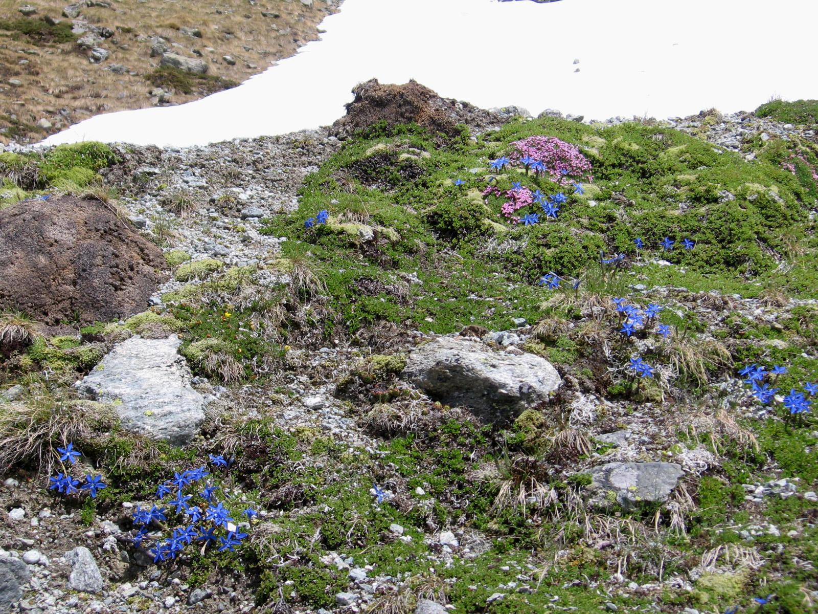 Un piccolo giardino zen silene acaulis e gentiana - Giardino zen piccolo ...