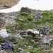 Un piccolo giardino Zen.<br />Silene acaulis e Gentiana orbicularis.
